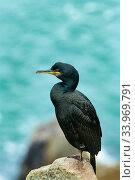 Купить «European shag (Phalacrocorax aristotelis) on rocks, Great Salteee Island, County Wexford, Ireland, June.», фото № 33969791, снято 3 июля 2020 г. (c) Nature Picture Library / Фотобанк Лори