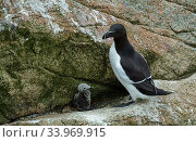 Купить «Razorbill (Alca torda) Great Salteee Island, County Wexford, Ireland, JUne.», фото № 33969915, снято 3 июля 2020 г. (c) Nature Picture Library / Фотобанк Лори