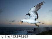 Nazca booby (Sula granti) in flight at dusk. Punta Suarez, Espanola Island, Galapagos. Стоковое фото, фотограф Tui De Roy / Nature Picture Library / Фотобанк Лори