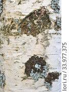Купить «Background. Birch trunk with lichens», фото № 33977375, снято 5 мая 2020 г. (c) Максим Мицун / Фотобанк Лори