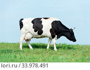 Купить «White milch cow with black spots grazing on green grass pasture over blue sky», фото № 33978491, снято 10 июля 2020 г. (c) age Fotostock / Фотобанк Лори