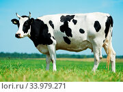Купить «White milch cow with black spots grazing on green grass pasture over blue sky», фото № 33979271, снято 10 июля 2020 г. (c) age Fotostock / Фотобанк Лори