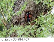 Купить «Berlin, Germany, Pivert slips into his tree hole», фото № 33984467, снято 10 апреля 2019 г. (c) Caro Photoagency / Фотобанк Лори