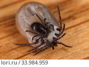 Купить «Berlin, Germany, male tick mates with a soaked female tick», фото № 33984959, снято 13 апреля 2020 г. (c) Caro Photoagency / Фотобанк Лори