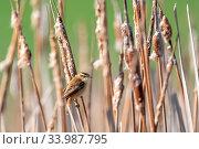 Small song bird Sedge warbler (Acrocephalus schoenobaenus) sitting on the reeds. Little songbird in the natural habitat. Spring time. Czech Republic, Europe wildlife. Стоковое фото, фотограф Zoonar.com/Artush Foto / easy Fotostock / Фотобанк Лори