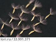 Купить «Семеня герберы на чёрном фоне», эксклюзивное фото № 33991371, снято 17 апреля 2019 г. (c) Dmitry29 / Фотобанк Лори