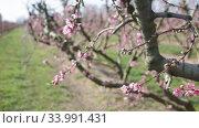 Купить «Close up of pink peach flowers on tree on sunny spring day», видеоролик № 33991431, снято 21 февраля 2020 г. (c) Яков Филимонов / Фотобанк Лори