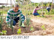 Arabian horticulturist checking garlic plants on vegetable garden. Стоковое фото, фотограф Яков Филимонов / Фотобанк Лори