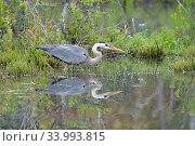 Купить «Great blue heron (Ardea herodias) reflected in water, Acadia National Park, Maine, USA.», фото № 33993815, снято 13 июля 2020 г. (c) Nature Picture Library / Фотобанк Лори