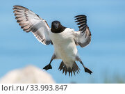 Razorbill (Alca torda) landing, Machias Seal Island off the coast of Maine, USA, July. Стоковое фото, фотограф George Sanker / Nature Picture Library / Фотобанк Лори