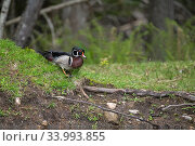 Wood duck (Aix sponsa) male in breeding plumage. Acadia National Park, Maine, USA. June. Стоковое фото, фотограф George Sanker / Nature Picture Library / Фотобанк Лори