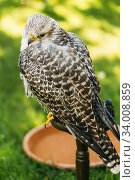 Hybrid Gyrfalcon and Saker falcon. In captivity, lanners and sakers can interbreed, and gyrfalcon-saker hybrids are also available. Стоковое фото, фотограф Ryhor Bruyeu / easy Fotostock / Фотобанк Лори
