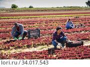 People working on red leaf lettuce plantation. Стоковое фото, фотограф Яков Филимонов / Фотобанк Лори