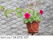 Купить «Bright scarlet petunia flower in a flower pot and woven macrame», фото № 34019107, снято 15 июня 2020 г. (c) ok_fotoday / Фотобанк Лори