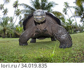 Aldabra giant tortoise (Aldabrachelys gigantea) portrait, low angle view, Astove Atoll, Aldabra island group, Seychelles. Стоковое фото, фотограф David Tipling / Nature Picture Library / Фотобанк Лори