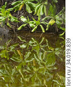 Купить «Red mangrove (Rhizophora mucronata) leaves reflected in water, St Francois Atoll, Seychelles», фото № 34019839, снято 13 июля 2020 г. (c) Nature Picture Library / Фотобанк Лори