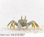 Купить «Horned ghost crab (Ocypode ceratophthalma) Wizard Island, Cosmoledo Atoll, Seychelles», фото № 34019867, снято 5 июля 2020 г. (c) Nature Picture Library / Фотобанк Лори