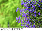 Купить «Natural summer background. Lobelia», фото № 34019939, снято 14 июня 2020 г. (c) Знаменский Олег / Фотобанк Лори