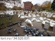 Flocks of Mute Swans (Cygnus olor) and Feral Pigeons (Columba livia) during 2019 floods, River Severn, Worcester, England. Стоковое фото, фотограф Will Watson / Nature Picture Library / Фотобанк Лори