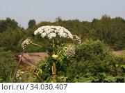 Борщевик, соцветие и листья (Heracleum) Стоковое фото, фотограф Щеголева Ольга / Фотобанк Лори