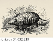 Tatu Poyu. Dasipodids (Dasypodidae), known as armadillos, family of placental mammals of the order Cingulata. Old engraved animal illustration 19th century. Стоковое фото, фотограф Jerónimo Alba / age Fotostock / Фотобанк Лори