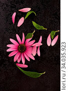 Купить «Coneflower with leaves on black table. Medicinal plant.», фото № 34035923, снято 11 июля 2020 г. (c) easy Fotostock / Фотобанк Лори
