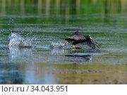 Eurasian coot in spring on a sea in saxon. Blaesshuhn während der Balz in der Oberlausitz. Стоковое фото, фотограф Zoonar.com/Karin Jähne / easy Fotostock / Фотобанк Лори