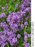 Купить «purple flowers of armeria, alissum or muscari», фото № 34047651, снято 23 июня 2019 г. (c) Nataliia Zhekova / Фотобанк Лори
