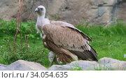 Купить «Brown vulture standing on the grass in the nature reserve», видеоролик № 34054635, снято 12 июля 2020 г. (c) Константин Шишкин / Фотобанк Лори