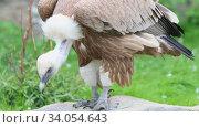 Купить «Brown vulture in the nature reserve - jumping from stone to another stone», видеоролик № 34054643, снято 12 июля 2020 г. (c) Константин Шишкин / Фотобанк Лори