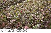Closeup of purple serrated leaves of red mizuna growing on large plantation. Стоковое видео, видеограф Яков Филимонов / Фотобанк Лори