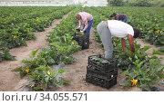 Купить «International team of farm workers hand harvesting organic zucchini crop on fertile agriculture land», видеоролик № 34055571, снято 1 июня 2020 г. (c) Яков Филимонов / Фотобанк Лори