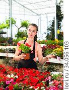 Купить «Young female gardener working with dipladenia plants in pots», фото № 34056103, снято 4 июля 2020 г. (c) Яков Филимонов / Фотобанк Лори