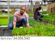 Купить «Latin american farmer checking seedlings of leafy vegetables», фото № 34056543, снято 16 июля 2020 г. (c) Яков Филимонов / Фотобанк Лори