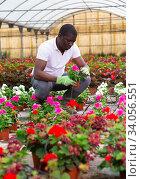 Купить «African american farmer checking potted pink periwinkles in greenhouse», фото № 34056551, снято 15 июля 2020 г. (c) Яков Филимонов / Фотобанк Лори