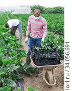 Latino farmer in protective medical mask transports zucchini harvest on garden wheelbarrow. Стоковое фото, фотограф Яков Филимонов / Фотобанк Лори