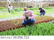 Pakistani farmer in protective medical mask controls rosemary sprouts. Стоковое фото, фотограф Яков Филимонов / Фотобанк Лори