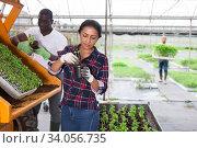 Купить «Latina woman and african man repotting vegetable seedlings», фото № 34056735, снято 1 июня 2020 г. (c) Яков Филимонов / Фотобанк Лори