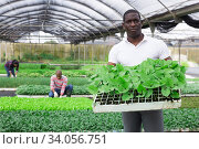 African american working in orangery - caring for various plants. Стоковое фото, фотограф Яков Филимонов / Фотобанк Лори