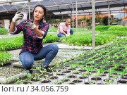 Купить «Peruvian female farmer checking potted tomato seedlings», фото № 34056759, снято 1 июня 2020 г. (c) Яков Филимонов / Фотобанк Лори
