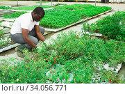 African american gardener caring for tomatoes. Стоковое фото, фотограф Яков Филимонов / Фотобанк Лори