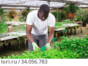 Skilled gardener engaged in cultivation of plants of bell peppers. Стоковое фото, фотограф Яков Филимонов / Фотобанк Лори