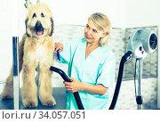 hairdresser professional dries hair by fen dog fur Afghan hound dog in hairdresser for animal. Стоковое фото, фотограф Татьяна Яцевич / Фотобанк Лори