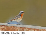 Eversmann's redstart (Phoenicurus erythronotus) male, Oman, January. Стоковое фото, фотограф Hanne & Jens Eriksen / Nature Picture Library / Фотобанк Лори