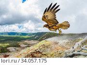 Galapagos hawk (Buteo galapagoensis) in flight, Alcedo Volcano, Isabela Island, Galapagos. Стоковое фото, фотограф Tui De Roy / Nature Picture Library / Фотобанк Лори