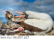 Купить «Nazca booby (Sula granti) biting at Vampire ground finch (Geospiza septentrionalis) which was feeding on its blood, Wolf Island, Galapagos.», фото № 34057227, снято 11 июля 2020 г. (c) Nature Picture Library / Фотобанк Лори