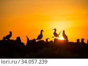 Blue-footed booby (Sula nebouxii) silhouetted colony at sunset, Cape Douglas, Fernandina Island, Galapagos. Стоковое фото, фотограф Tui De Roy / Nature Picture Library / Фотобанк Лори