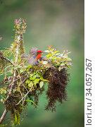 Купить «Galapagos vermilion flycatcher (Pyrocephalus nanus) male and female at nest, Alcedo Volcano, Isabela Island, Galapagos.», фото № 34057267, снято 12 июля 2020 г. (c) Nature Picture Library / Фотобанк Лори