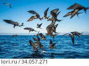 Magnificent frigatebirds (Fregata magnificens) diving for fish prey, Borrero Bay, Santa Cruz Island, Galapagos. Стоковое фото, фотограф Tui De Roy / Nature Picture Library / Фотобанк Лори