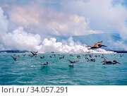 Купить «Brown pelicans (Pelicanus occidentalis) flock in flight over sea, Galapagos.», фото № 34057291, снято 13 июля 2020 г. (c) Nature Picture Library / Фотобанк Лори